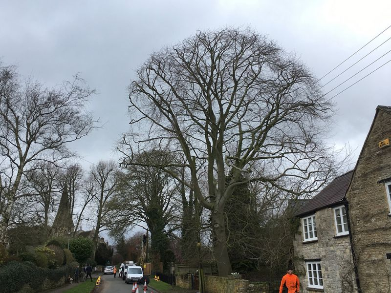 Crown Reduction - Beech Tree no2 (OHPL)