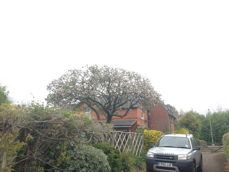 Crown Reduction - Apple Tree
