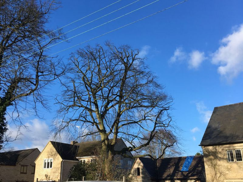 Crown Reduction - Beech Tree